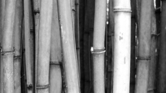 Looking into a bamboo grove in California