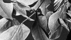Blätter eines Baumes in Kalifornien